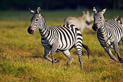 zebra running - photo #28