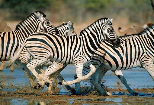 Zebras Running Through Water Zebra Running