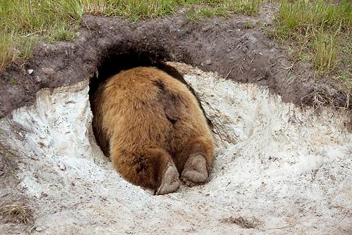 Brown bear den bea 01 wf0005 01 european brown bear looking into den