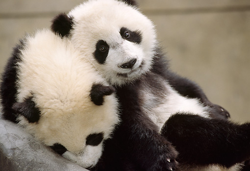 Giant Panda Cubs Playing bear - Animal S...