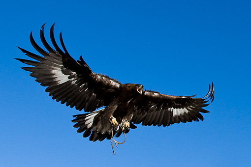 Soaring Golden Eagle golden eagle - ...