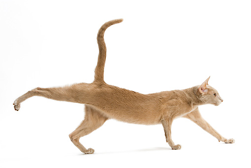 Fawn Colored Cat Oriental fawn cat running