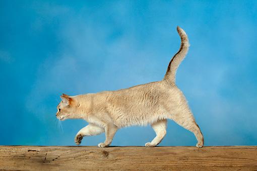 گربه راه رفتن روی پنجه
