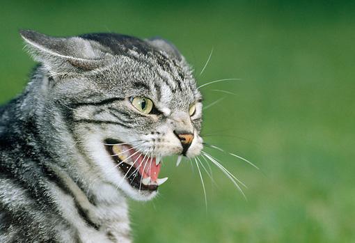 hissing - Animal Stock Photos - Kimballstock Tabby Cat Sitting Up