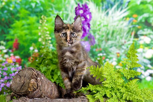 CAT 03 JE0281 01 - Calico