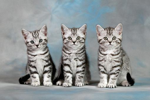 Brytyjski pręgowany kot krótkowłosy