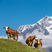 COW 01 KH0034 01
