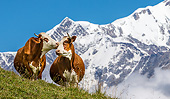 COW 01 KH0036 01