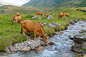 COW 01 KH0039 01
