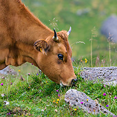 COW 01 KH0042 01