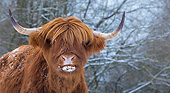 COW 01 KH0056 01
