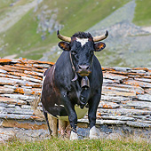 COW 01 KH0062 01