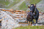 COW 01 KH0063 01