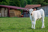 COW 01 KH0069 01