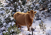 COW 01 RK0005 09