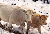 COW 01 RK0007 01