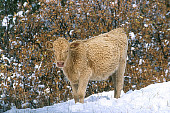 COW 01 RK0011 03