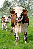 COW 02 JE0005 01