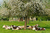 COW 02 JE0006 01