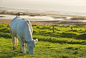 COW 02 JE0012 01
