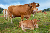 COW 02 JE0019 01