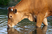COW 02 JE0030 01