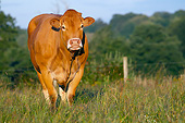 COW 02 JE0032 01