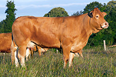 COW 02 JE0033 01