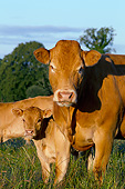 COW 02 JE0037 01