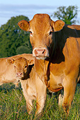 COW 02 JE0038 01