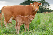 COW 02 JE0039 01