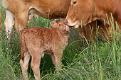COW 02 JE0041 01