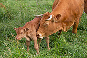 COW 02 JE0042 01