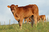 COW 02 JE0044 01