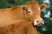 COW 02 JE0045 01