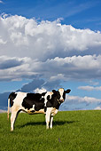 COW 02 KH0036 01