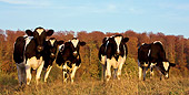 COW 02 KH0049 01