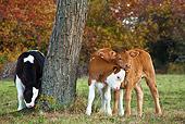 COW 02 KH0066 01