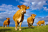 COW 02 KH0075 01