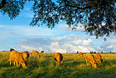 COW 02 KH0076 01