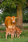 COW 02 KH0085 01