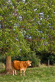 COW 02 KH0086 01