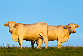 COW 02 KH0113 01