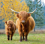 COW 02 KH0125 01