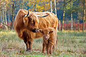 COW 02 KH0126 01