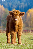 COW 02 KH0136 01