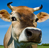 COW 02 KH0138 01