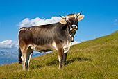 COW 02 KH0145 01