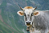 COW 02 KH0147 01