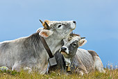 COW 02 KH0152 01